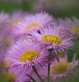 Asters flower in the Steyl - Jubilee Garden