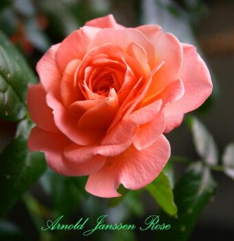 Arnold Janssen Rose